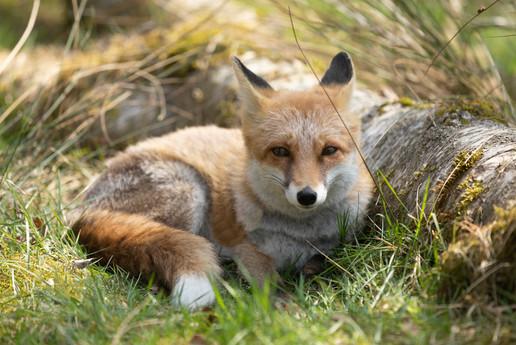 Foxy021.jpg