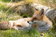 Foxy014.jpg