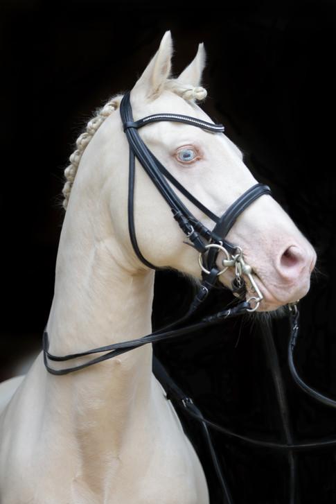 Ponyhengst24.jpg