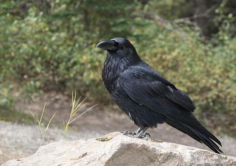 raven-2162966_1920.jpg