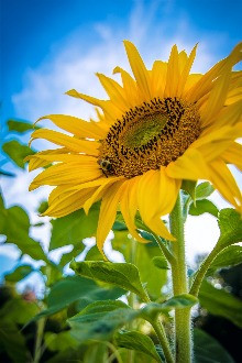 Flourish and grow like a sunflower!
