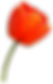 transparent-orange-tulip-1.png