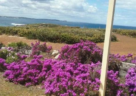 Purple pigface flowers