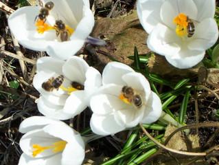 Bijen in het vroege voorjaar.