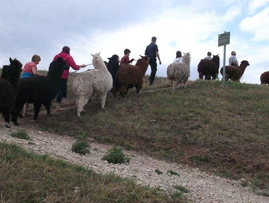 Alpaca_trekking_in_Norfolk.jpg
