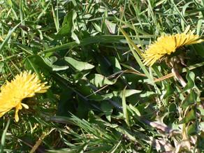 Backyard foraging #1 - Dandelions