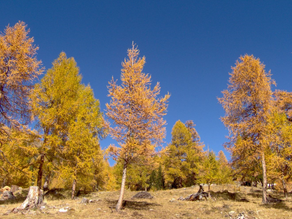 National Tree Week: Larix decidua
