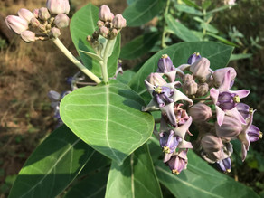 Vegetation Diary: Calotropis gigantea (Crown flower)