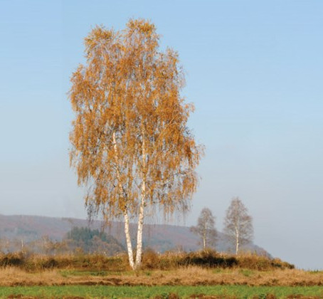 National Tree Week: Betula pendula