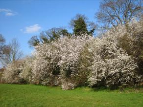 National Tree Week: Prunus spinosa