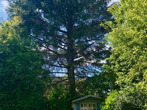 Plants on Watch: Picea spp.