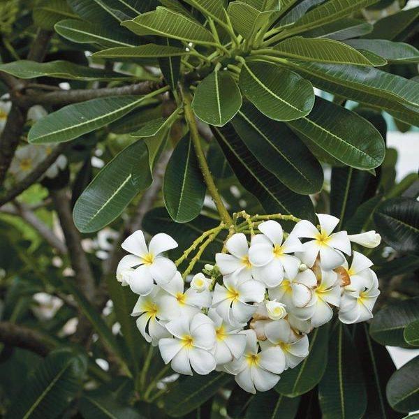 Day 6:Plumeria obtusa, Evergreen Frangipani, Graveyard Flower, Pagoda Tree, Temple Tree, West Indian Jasmine