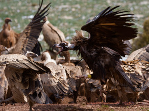 The role of vultures in improving ecological diversity