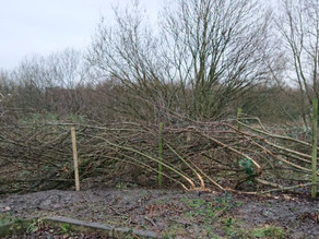 Students discover the art of hedge laying