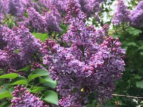 Plants on Watch: Syringa vulgaris