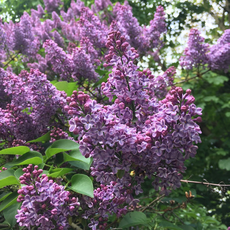 Plants on Watch: Syringa vulgaris