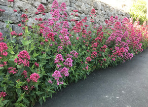 Plants on Watch: Centranthus ruber