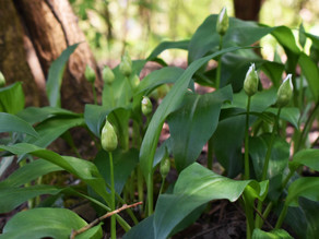 Backyard foraging #3 - Ramsons