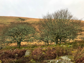 Wistman's Wood: Dartmoor's ancient Forest