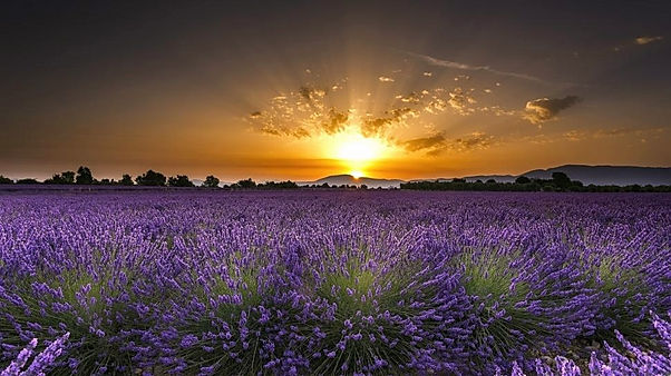 france%20lavender%20sunrise_edited.jpg