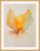 Study of a Physalis