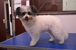 Papillon cross Toy Poodle