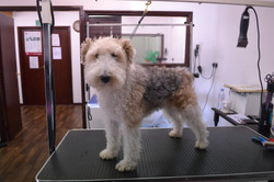 Fox Terrier wire (Clipped)