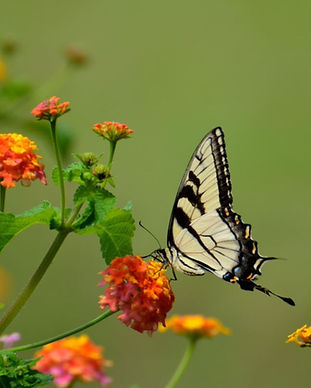 swallow-tail-butterfly-insect-black-1586