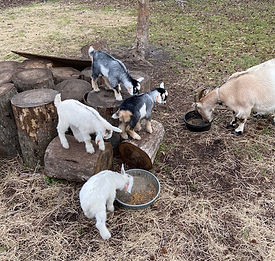 Baby goats at Sweetgrass!