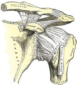 anatomie épaule