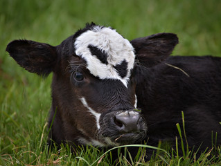 New Bull Calf
