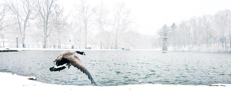 Photo: Goose in flight