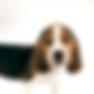 ビーグル子犬