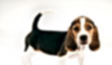 Chiot Beagle à l'écoute