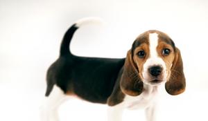 Beagle standing