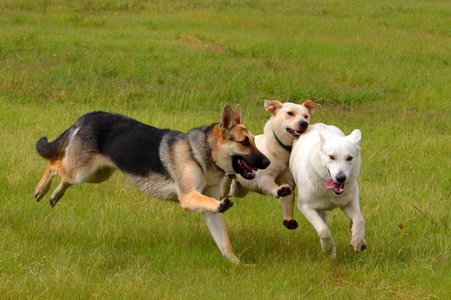 3+ pets/Large Yard