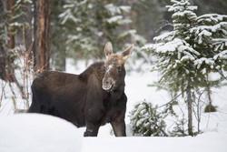 Moose near Roller Coaster Trail
