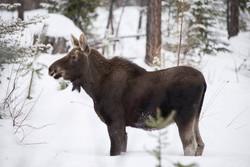 Young Moose near Sunshine Corner