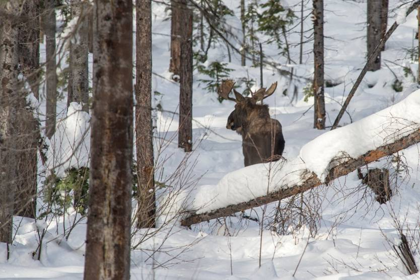 Moose near Trapline Trail