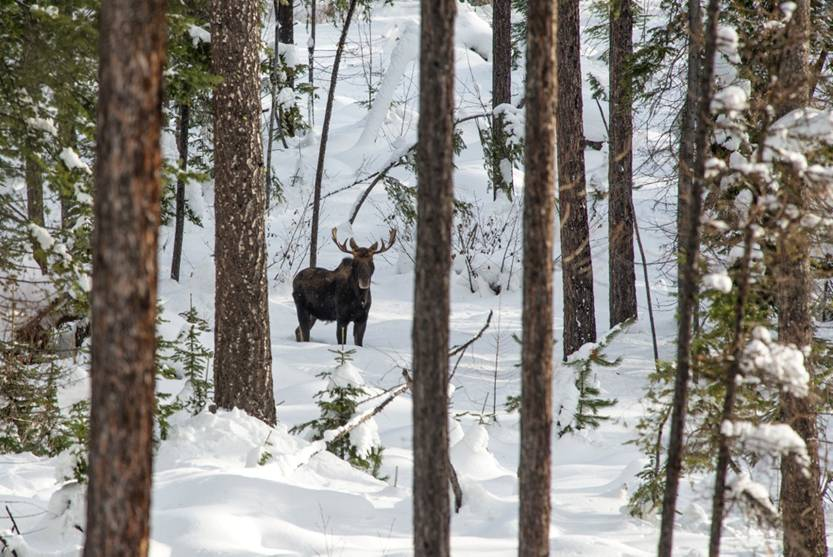 Bull Moose near Landsem Trail
