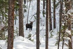 Bull Moose near Landsem Trail