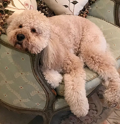 Teddy, Mayor Bosse's poodle - inspiration for relaxation