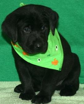 Sirius as a puppy