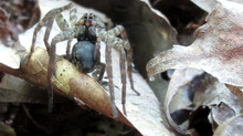 More wolf spiders feasting on American toads due to invasive grass, UGA study shows