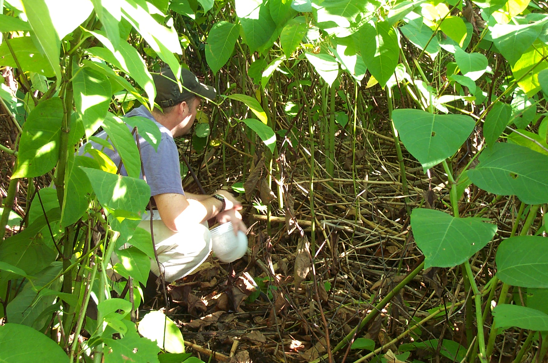 JCM3 crouching in Japanese knotweed understory by JCM2.jpg