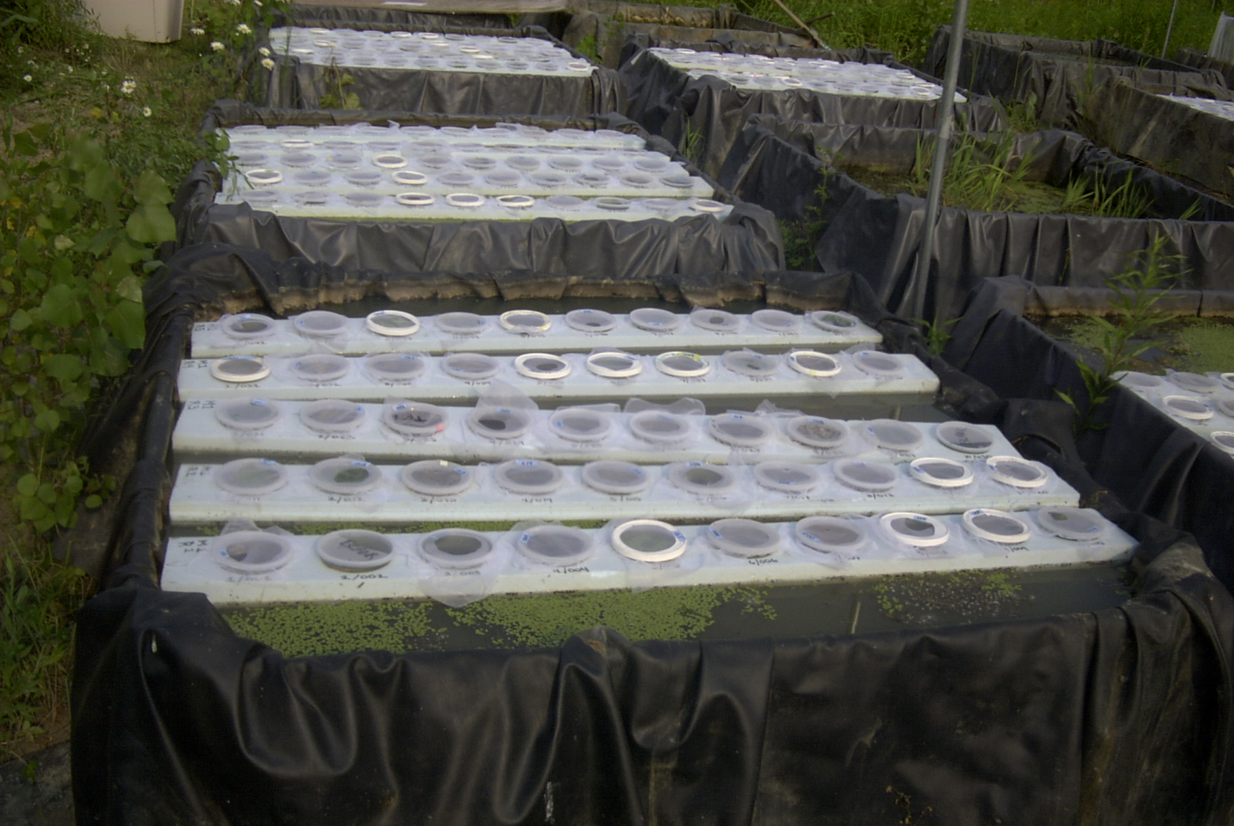 Experimental cups floating in mesocosm b.jpg