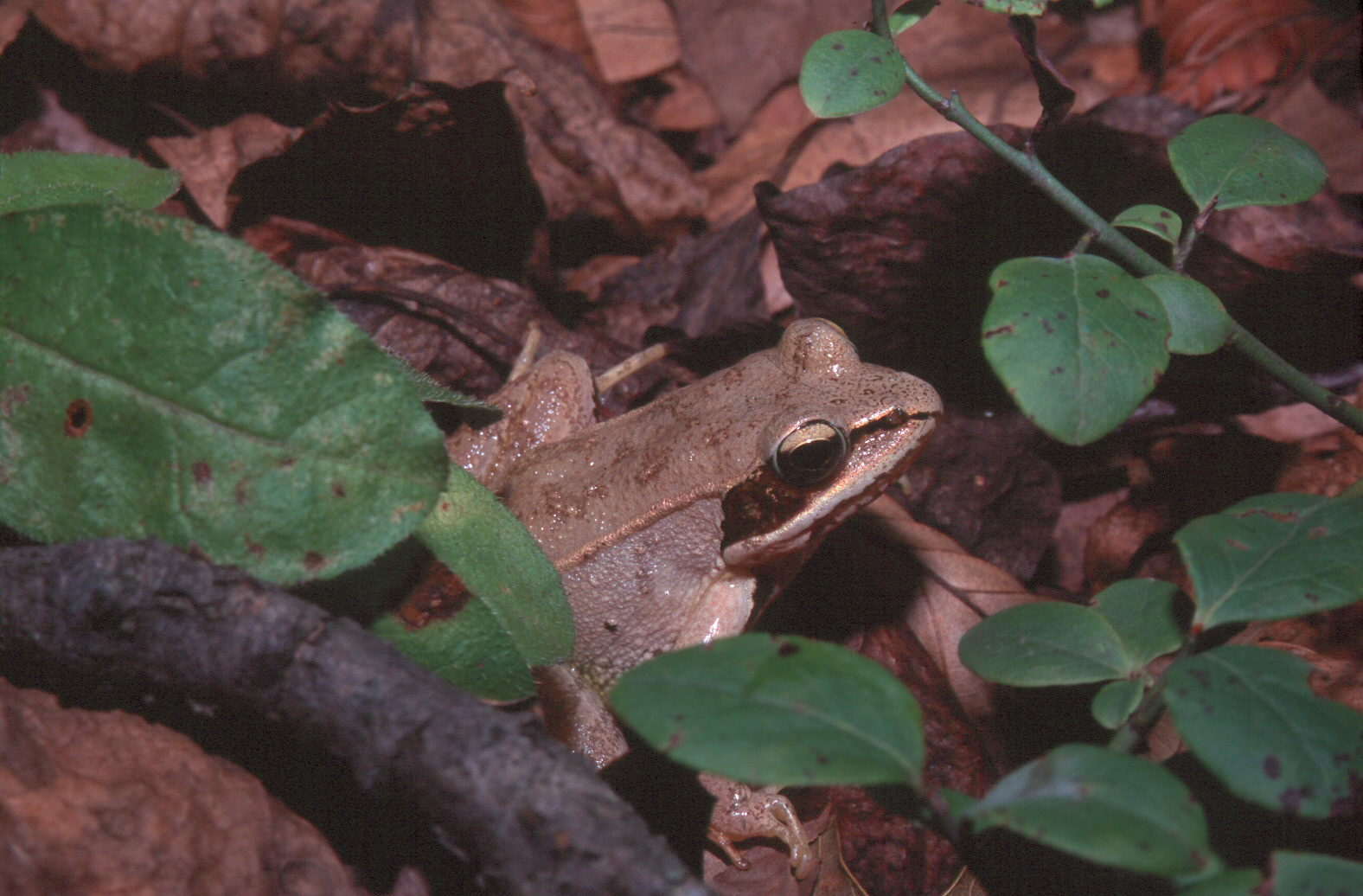 Rana sylvatica on the forest floor.jpg