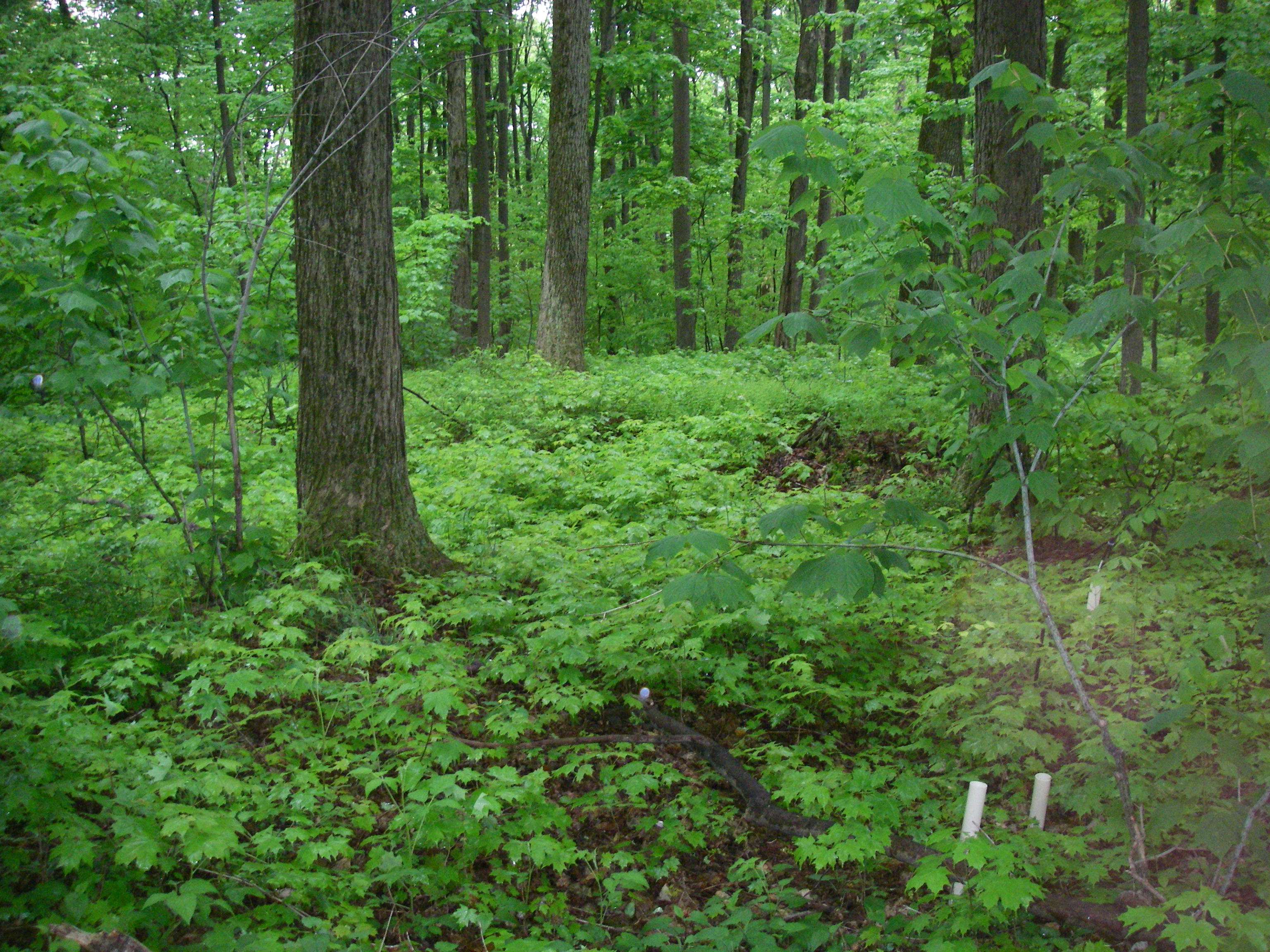 Sugar maple mixed herb layer in C2 22May08a.JPG