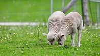 овца.jpg