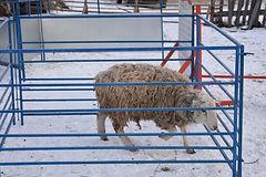 Ограда ягнята фото Легкое ограждение для ягнят, овец, коз SheepMaster